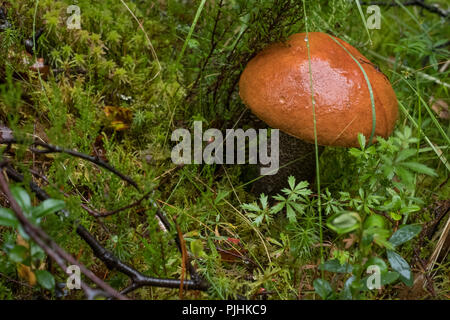 Orange birch bolete mushroom growing amongst grass in woods in the Scottish Highlands. Known also as leccinum versipelle. - Stock Photo