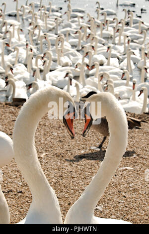 Two swans gazing into each others eyes forming a heart shape as they do so. - Stock Photo