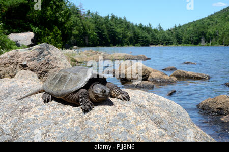 Common snapping turtle. Acadia National Park Maine, USA - Stock Photo