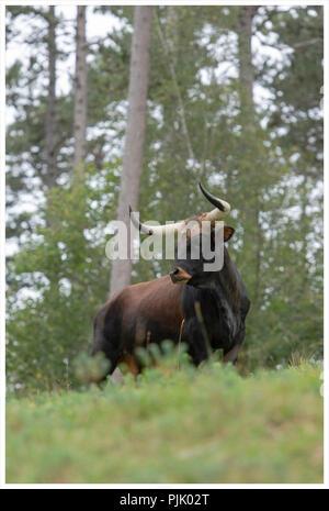 Aurox, Bos taurus primigenius - Stock Photo