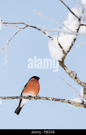 Bullfinch in the snowy branches of a tree - Stock Photo