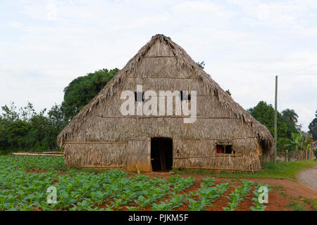 Shed for drying tobacco leaves, tobacco farm, Vinales Valley, Province of Pinar del Rio, Cuba, Republic of Cuba, Greater Antilles, Caribbean Sea - Stock Photo