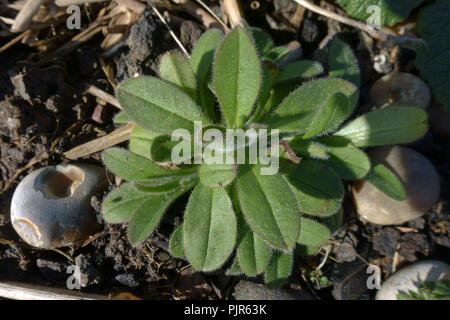 Leaf rosette of a young forget-me-not, Myosotis arvensis, plant on waste stone ground, March, Berkshire - Stock Photo