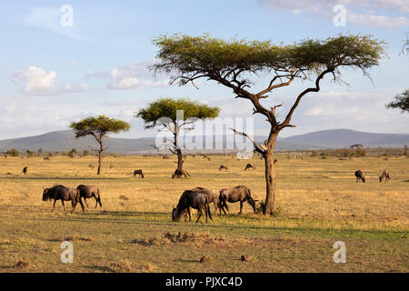 MAASAI MARA NATIONAL RESERVE, KENYA, AFRICA -  Wildebeest grazing in the Naboisho Conservancy with acacia trees and mountains in evening sunlight - Stock Photo
