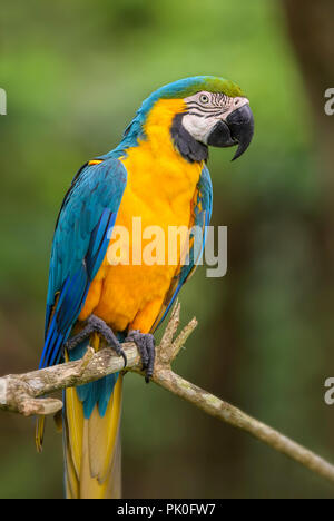 Blue-and-yellow Macaw - Ara ararauna, large beautiful colored parrot from South America forests and woodlands. - Stock Photo