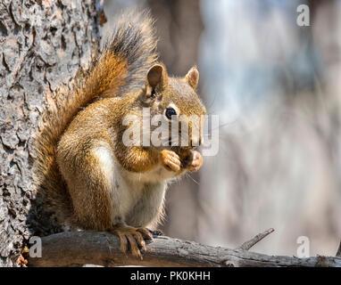 American red squirrel (Tamiasciurus hudsonicus) or pine squireel - Stock Photo