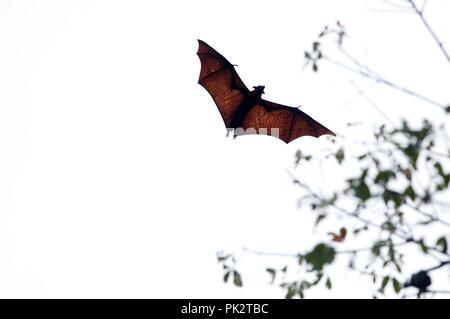 Large flying Fox (Pteropus vampyrus) - Southern Thailand Roussette de Malaisie - Grand renard volant - Stock Photo