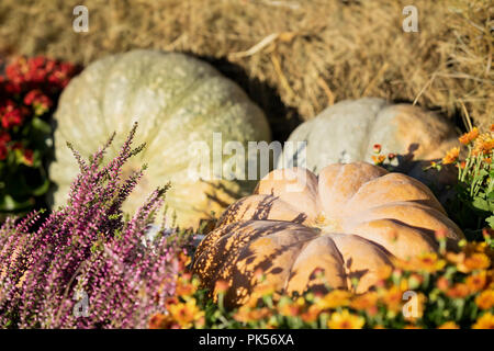 Ripe different pumpkins, zucchini lit by autumn sun, on dry straw among flowers. Traditional symbol for harvest holidays, Thanksgiving Day, Halloween. - Stock Photo