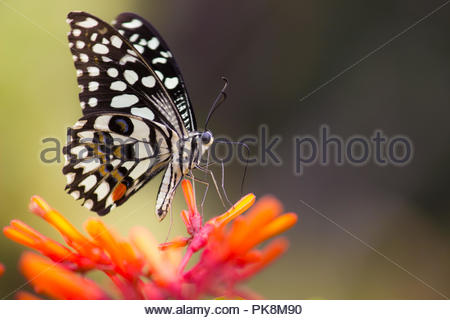 The Common Lime Butterfly - Stock Photo