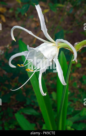 Peruvian daffodil (Ismene x deflexa). Called Basket lily, Spider lily, Summer daffodil and Sea daffodil also. Another scientific name is Hymenocallis  - Stock Photo