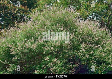 Chaste tree (Vitex agnus-castus). Called Vitex, Chasteberry, Abraham's balm, Lilac Chastetree and Monk's pepper also. - Stock Photo