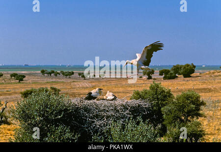 White stork (Ciconia ciconia) - nest in a wild olive. Entorno de Doñana Natural Park. Region of Andalusia. Spain. Europe - Stock Photo