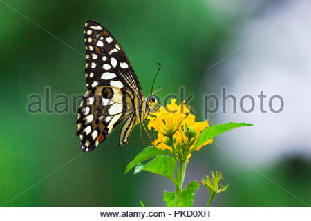 Common Lime Butterfly - Stock Photo