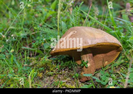 wild brown mushroom on the forest floor - Stock Photo