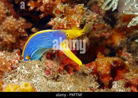 Ribbon eel (Rhinomuraena quaesita) in the coral reef, Borneo, Malaysia - Stock Photo