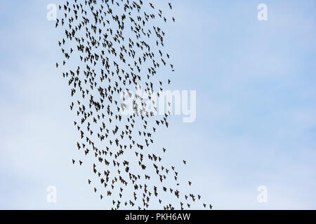 Murmuration of Common Starlings (Sturnus vulgaris) flying in the sky in early Autumn in West Sussex, England, UK. - Stock Photo