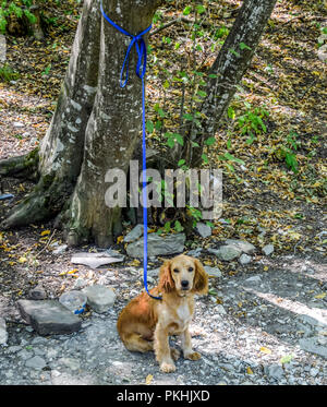 Red dog on a leash tied to the trunk of a tree. - Stock Photo