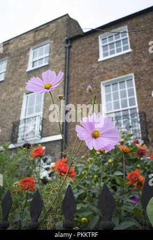 Cosmos growing in front garden of a Georgian house in Downshire Hill, Hampstead, London NW3, England, UK - Stock Photo
