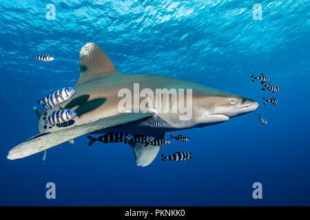Oceanic Whitetip Shark, Carcharhinus longimanus, Brother Islands, Red Sea, Egypt - Stock Photo