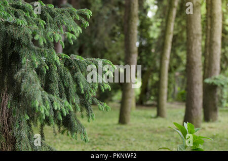 Fir tree branch close-up against a spruce forest, background of straight trunks of spruces. Green natural background. - Stock Photo