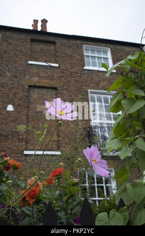 Cosmos growing in front gardens of a Georgian house in Downshire Hill, Hampstead, London NW3, England, UK - Stock Photo
