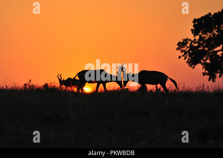 Two young Hartebeest Antelope are using their horns to fight for mating privileges at a safari sunrise in South Africa. - Stock Photo
