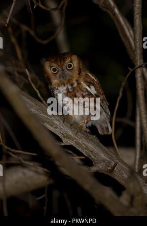 Eastern Screech Owl :: Otus asio - Stock Photo