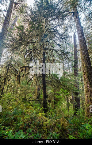 Dense moss hangs from a Pacific yew tree (Taxus brevifolia) in a section of old growth forest in the HJ Andrews Experimental Forest, Oregon. - Stock Photo