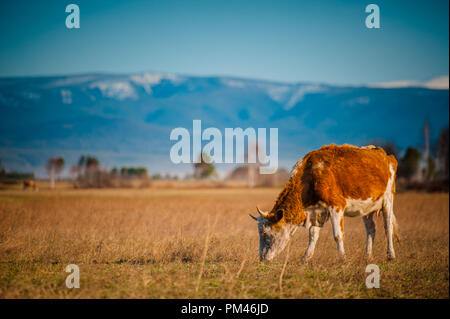 A healthy and well fed cow on a pasture in the mountains, with selective focus. - Stock Photo
