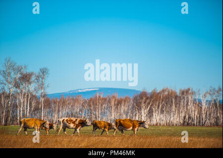 Healthy and well fed cow on pasture in the mountains, with selective focus. - Stock Photo