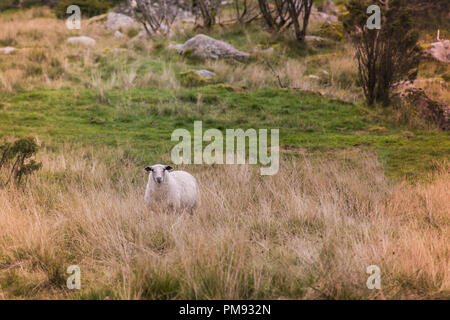 Lone sheep staring across the field in the meadow - Stock Photo