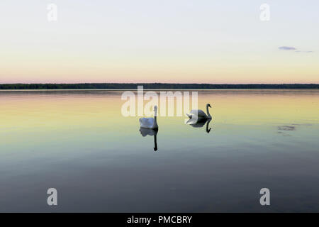 beautiful two white swans on the lake - Stock Photo