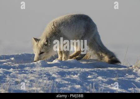 Arctic fox, Vulpes Lagopus, hunting around in snowy spring conditions, Cambridge Bay, Nunavut - Stock Photo