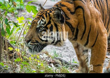 Sumatran tiger / Sunda Island tiger (Panthera tigris sondaica / Panthera tigris sumatrae) native to Sumatra, Indonesia - Stock Photo