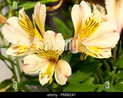 Exotic summer flowers of the pale yellow perennial Peruvian lily, Alstroemeria Inca 'Sundance' - Stock Photo