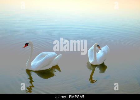 White swan love scene. Two white swans on water - Stock Photo