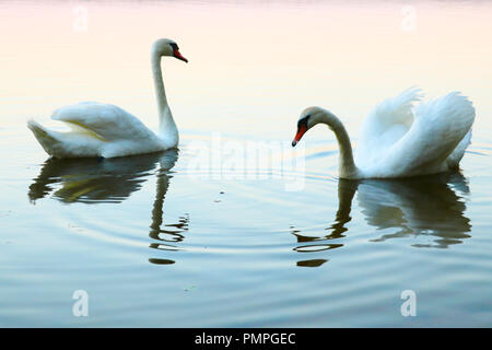 Two kissing swans on blue water. Birds represent heart as a wedding and love symbol - Stock Photo