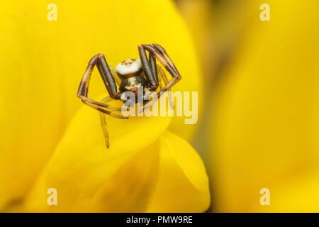 Male Misumena vatia crab spider resting on gorse flower. Tipperary, Ireland - Stock Photo