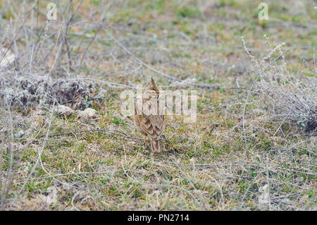 Crested lark (Galerida cristata) sits on the ground in a natural habitat. - Stock Photo