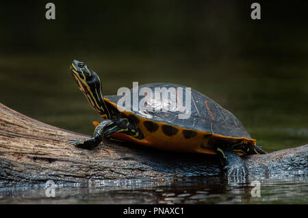 A Florida red-bellied cooter turtle, basking in the sun on a log in Juniper Springs, Florida. - Stock Photo