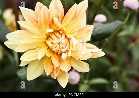 Beautiful yellow and orange Motto Dahlia, or the Dinner Plate Dahlia, flower. - Stock Photo