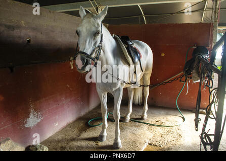 white horse in the stables ready to be cleaned - Stock Photo