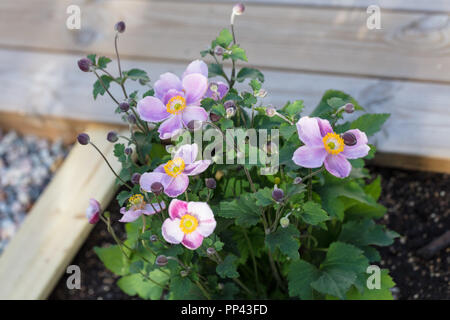 'Little Princess' Japanese anemone, Höstanemon (Anemone hupehensis) - Stock Photo