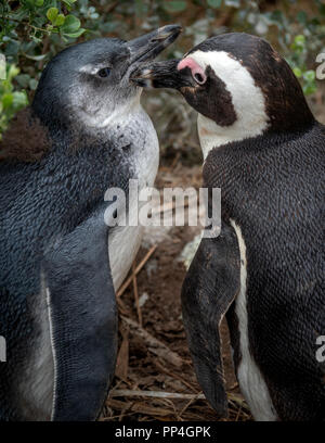Chick being groomed: African penguins (Spheniscus demersus), also known as the jackass penguin and black-footed penguin of Boulders Beach, Western Cap - Stock Photo