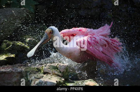 Roseate spoonbill taking a bath - Stock Photo