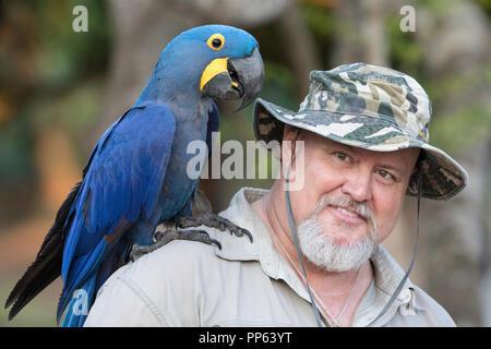 Guide Carlos Navarro with an adult hyacinth macaw, Anodorhynchus hyacinthinus, Pantanal, Brazil. - Stock Photo
