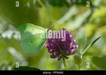 Buttefly Common Brimstone (Gonepteryx rhamni) feeding on a wild flower. Lugi, Carpathians, Ukraine, June, 2018 - Stock Photo