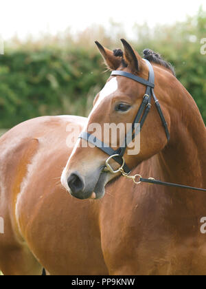 A head shot of a bay plaited horse in an in hand show class. - Stock Photo