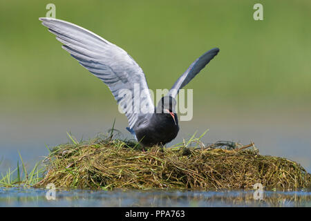 Black tern (Chlidonias niger) in breeding plumage flapping its wings and calling from nest in pond - Stock Photo