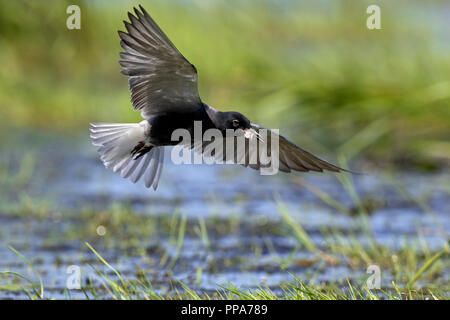 Black tern (Chlidonias niger) flying in breeding plumage over wetland with insect prey in beak - Stock Photo
